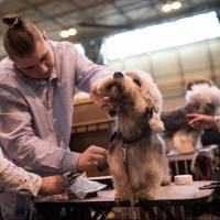 Modern lifestyles, 'designer dogs' called a threat to traditional British pooch breeds