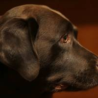 A Labrador retriever named Shayna attends a 2013 news conference at the American Kennel Club in New York. According to the American Kennel Club Tuesday, Labrador retrievers have extended their record run as America's most popular dog breed for 2016. | AP