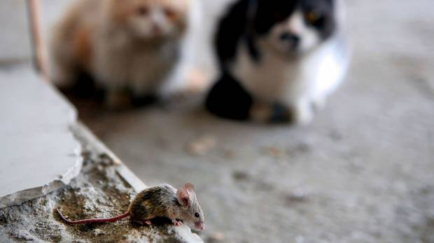 Research finds house mice infestation of human settlements dates back 15,000 years