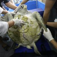 Sea turtle flaps flippers in first rehab swim after coin-removal surgery