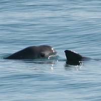 Mexico's fight for endangered vaquita porpoise turns violent