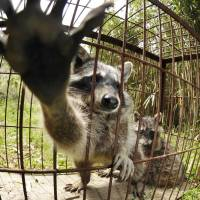 Captured raccoons are displayed in a cage in 2008 in Imari, Saga Prefecture.   KYODO