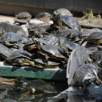 Suma Aqualife Park in Kobe, seen in 2013, is full of red-eared slider turtles that were originally brought to Japan as pets.   KYODO