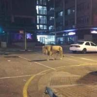This image was posted on Twitter last April by a man who fanned a 'lion scare' with false tweets following a major earthquake in Kumamoto. | KUMAMOTO PREFECTURAL POLICE / VIA KYODO