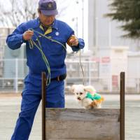 Handler Hirofusa Suzuki leads police dog Anzu, a toy poodle, over an obstacle at a police academy near Mito, Ibaraki Prefecture, on Jan. 19. | KYODO