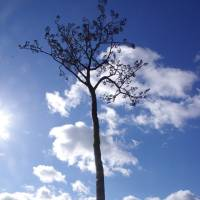 The 'Miracle Pine,' which remained standing through the March 2011 monster tsunami that engulfed Rikuzentakata, Iwate Prefecture, is seen in late February.   REIJI YOSHIDA