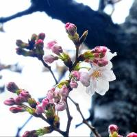 Cherry blossoms get an early start in Tokyo despite chilly, wet weather