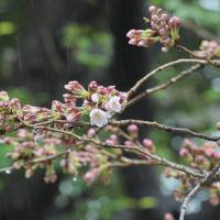 Cherry tree  ,  Flowering expectation cherry tree, ''Somei yoshini'', at Yasukuni shrine on March 21, 2017. This is a sample tree for phenological observation conducted by the Tokyo Regional Headquarters of the Japan Meteological Agency.  YOSHIAKI MIURA  PHOTO