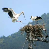At least one egg has been laid by a Oriental White Stork in Tokushima Prefecture. | CITY OF NARUTO / KYODO