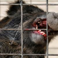 A wild boar is seen in a booby trap near a residential area in Tomioka, Fukushima Prefecture, on Feb. 28. | REUTERS