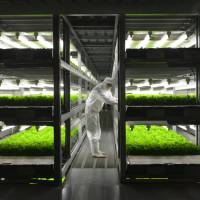 Food factory: At Spread's facility in Kameoka, Kyoto Prefecture, lettuce is grown hydroponically using timed doses of LED light. | J.J. O'DONOGHUE