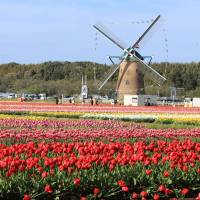 Tulip town: A windmill adds to the atmosphere of Sakura's Tulip Festival.