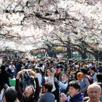 Cherry blossom season is the perfect time to visit Japan