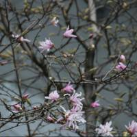 Magnolias bloom on a rainy spring day in Tokyo. | KIT NAGAMURA