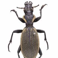 Talking about evolution: Specimens collected by English naturalist Charles Darwin during his world travels that are currently on display at the National Museum of Nature and Science, Tokyo include Ceroglossus beetles. | © THE TRUSTEES OF THE NATURAL HISTORY MUSEUM, LONDON