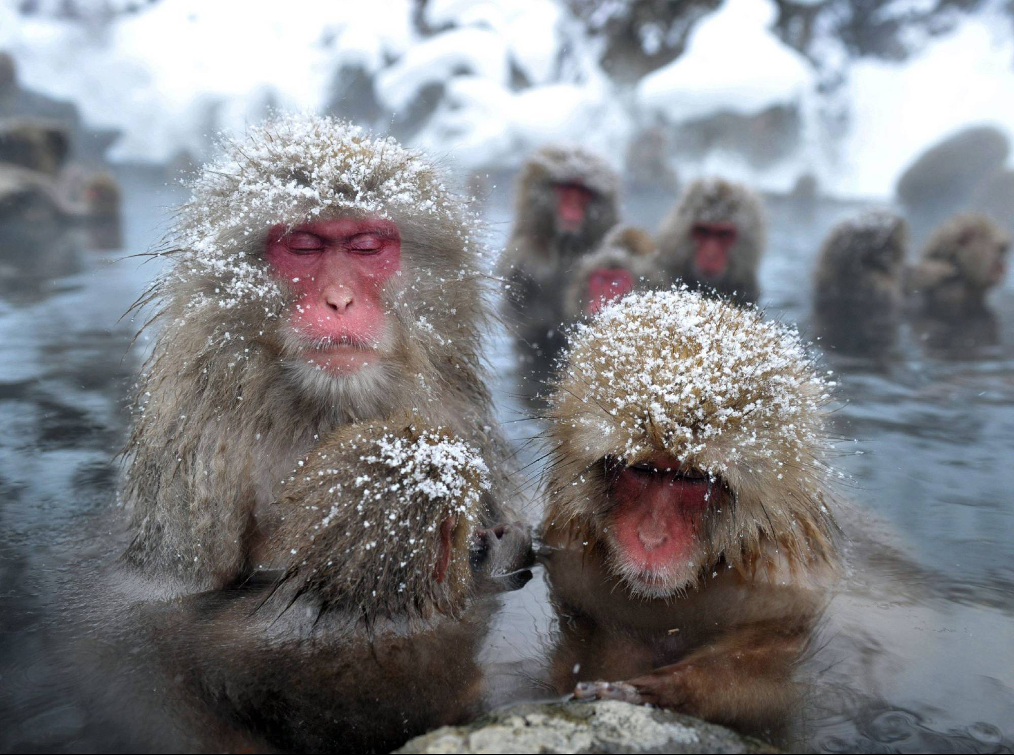 Not as cute as they first might appear: A troop of Japanese macaques sit in an open-air hot spring at the Jigokudani Monkey Park near the town of Yamanouchi, Nagano Prefecture, in January 2012. | AFP-JIJI