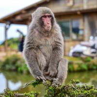 A macaque sits on a branch outside a house. Many monkeys in rural parts of Japan have grown accustomed to the presence of humans. | ISTOCK
