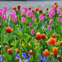 Tulips in full spring bloom in Funabashi H.C. Anderson Park. | CHIBA PREFECTURAL TOURISM