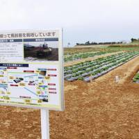 A potato field in Nagashima, Kagoshima Prefecture, uses liquid residues from a local biogas power plant as fertilizer. | KYODO