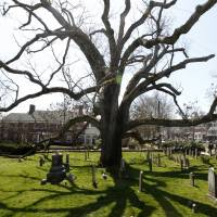 New Jersey church plants offspring of America's oldest white oak, now dead