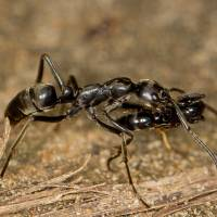 A Matabele ant is seen carrying an injured mate back to the nest after a raid in this 2013 handout photo provided Wednesday. Scientists say the sub-Saharan ant species engages in surprising rescue behavior, retrieving injured comrades after battles with termites. | COURTESY ERIK FRANK/ HANOUT / VIA REUTERS