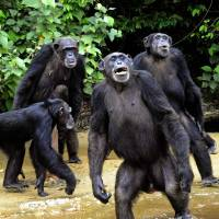 Study finds great apes know when people are wrong and are willing to help them
