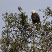 Bay Area bald eagles staging comeback after nearly vanishing