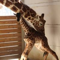 April the giraffe, a YouTube star, becomes a new mom