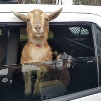 Maine police track down pair of escaped pygmy goats