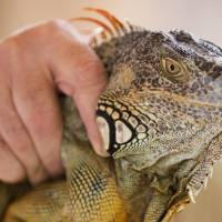 Suburban South Florida's pesky green iguanas becoming as plentiful as squirrels