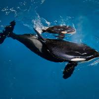 SeaWorld park sees last orca born from now-defunct breeding program