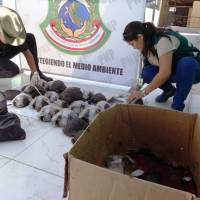 Peruvian police rescue rare Galapagos tortoises from Europe-bound traffickers