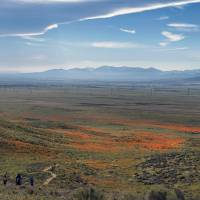 After years of drought, California's desert super bloom pulls in record crowds
