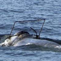 California boaters on lookout for gray whale caught in crab trap