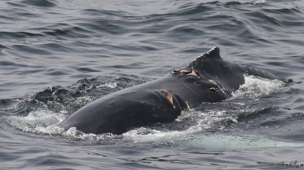Study of whales off northeast U.S. finds collisions with boats may be commoner than thought