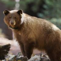 Yosemite tracking daily journeys of black bears online