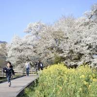 A 420-year-old cherry tree in the village of Minamiaso, Kumamoto Prefecture, is in full bloom on April 13. The area is struggling to lure back tourists. | KYODO