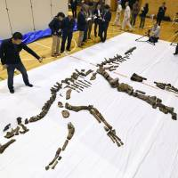 Fossilized parts of an 8-meter-long Hadrosaurid, unearthed in Hokkaido, are shown Thursday in the town of Mukawa, Hokkaido. | KYODO