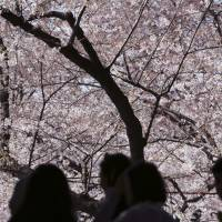 People admire cherry blossoms at Ueno Park in Tokyo. In Miyazaki Prefecture, a joyful cherry blossom-viewing party turned into a major accident after a gas cartidge exploded, hurting at least six. | AP