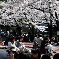 Aomori home to nation's top cherry blossom viewers, survey says