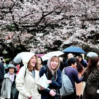 Parks fill up as nation readies  for annual 'sakura' extravaganza