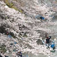 Visitors row boats in Chidorigafuchi moat at the Imperial Palace in central Tokyo on Sunday while admiring blossoming cherry trees. | KYODO