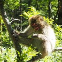 In its element: A Japanese macaque monkey enjoys the sun. | TOM FAY