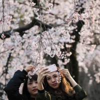 Let's discuss the cherry blossom season