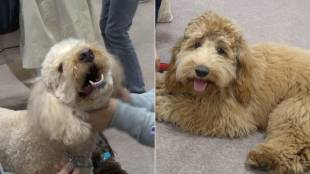 [VIDEO] Australian labradoodles at Interpets 2017