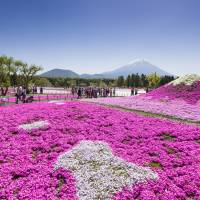 Nature walk: The Fuji Shibazakura Festival sees hundreds of thousands of stalks of moss phlox in bloom at a resort close to Mount Fuji.