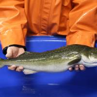 Researchers seek better ways to farm popular Pacific black cod as seafood demand surges