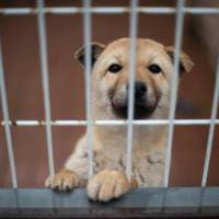 For South Korea's treasured Jindo breed of dogs, purity is key