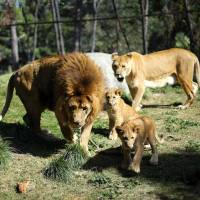 Lion cubs born after a pioneering veterinary procedure that involved a reversed vasectomy of their father, are presented to the media at Buin Zoo in the outskirts of Santiago Thursday. | REUTERS