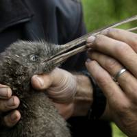 To save their iconic birds, New Zealanders work to kill every rat, opossum and stoat